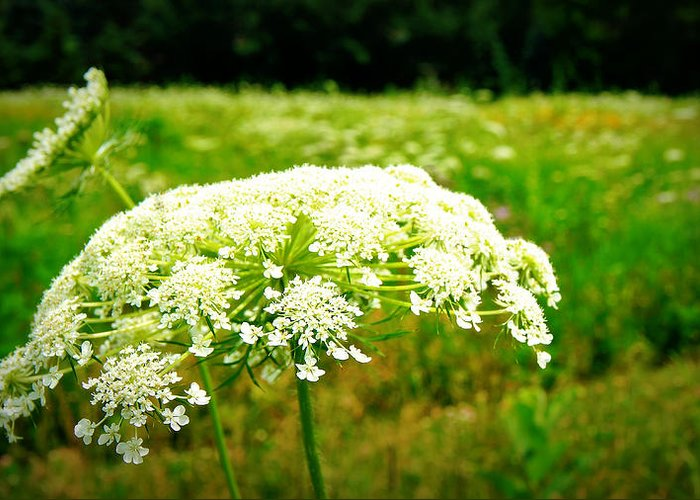 Queen Annes Lace Greeting Card featuring the photograph Queen Anne's Lace by Carol Toepke