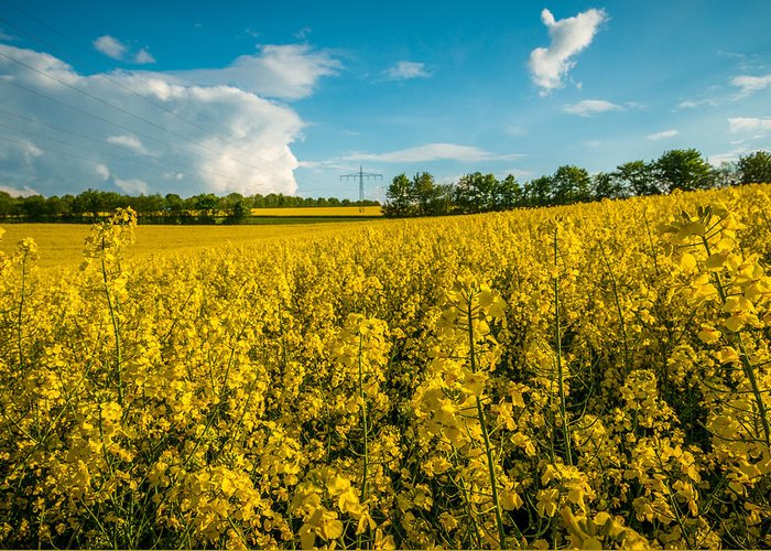 2014 Greeting Card featuring the photograph Raps Rapeseeds Flowers by George Lim