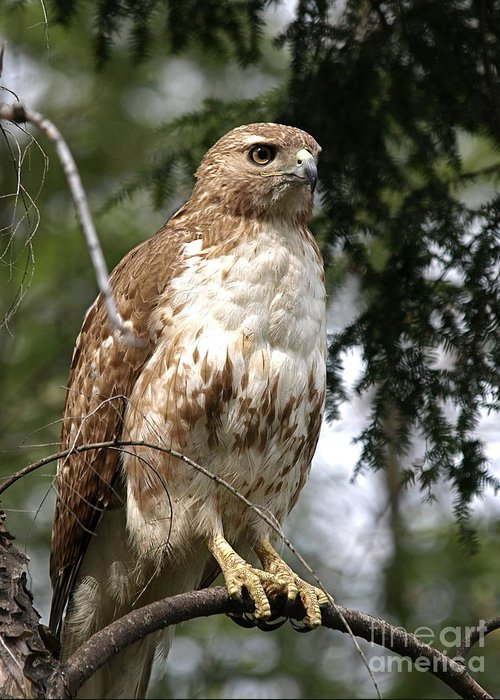 Redtail Hawks Greeting Cards