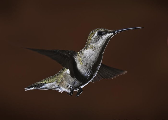 Bird Collection Greeting Card featuring the photograph Ruby Throat Humming Bird by John Kirwin