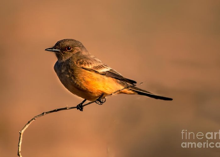 Birds Greeting Card featuring the photograph Say's Phoebe by Robert Bales