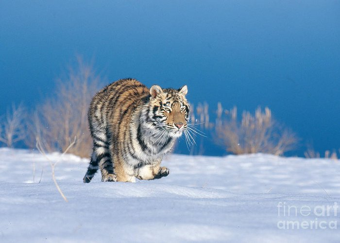 Animal Greeting Card featuring the photograph Siberian Tiger by Alan Carey