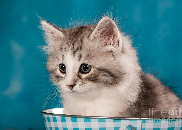 Cat Greeting Card featuring the photograph Sibirian Cat Kitten by Doreen Zorn