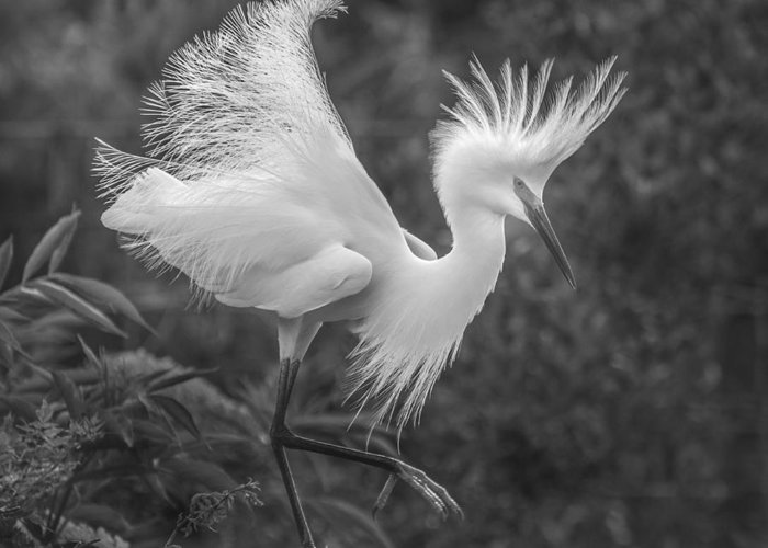 Snowy Egret Greeting Card featuring the photograph Snowy Egret by Jim Rettker