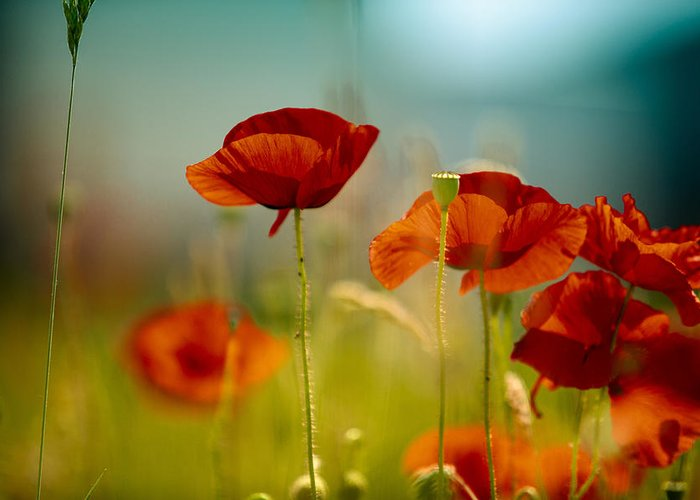 Red Poppies Greeting Cards
