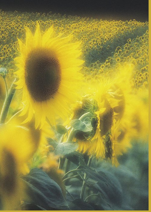 Helianthus Annuus Greeting Card featuring the photograph Sunflower Field by David Nunuk/science Photo Library