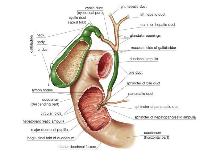 The Gallbladder Greeting Card For Sale By Asklepios Medical Atlas