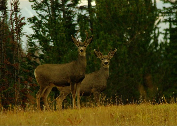 Deer Greeting Card featuring the photograph Two Young Bucks by Jeff Swan
