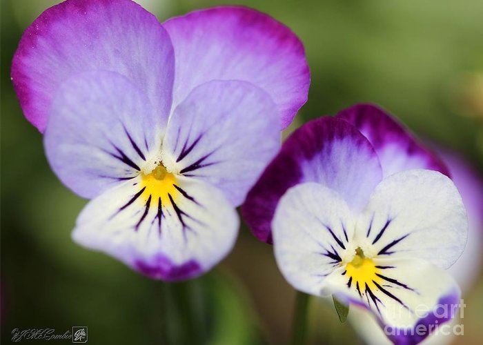 Mccombie Greeting Card featuring the photograph Viola Named Sorbet Lemon Blueberry Swirl by J McCombie