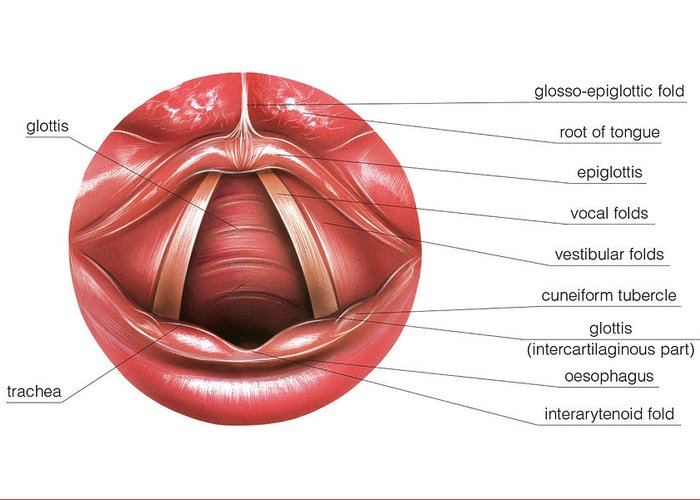 Vocal Folds Greeting Card for Sale by Asklepios Medical Atlas