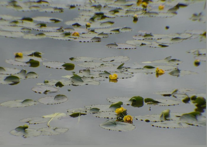 Water Lily Greeting Card featuring the photograph Water Lily by Jeri lyn Chevalier