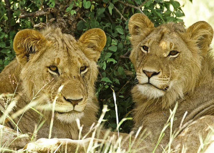 Lion Greeting Card featuring the photograph Young Brothers by Michele Burgess
