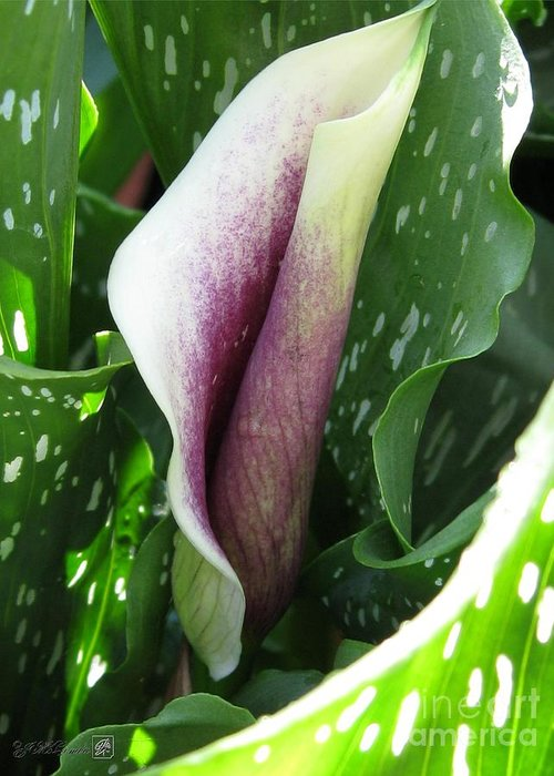 Zantedeschia Greeting Card featuring the photograph Zantedeschia Named Picasso by J McCombie