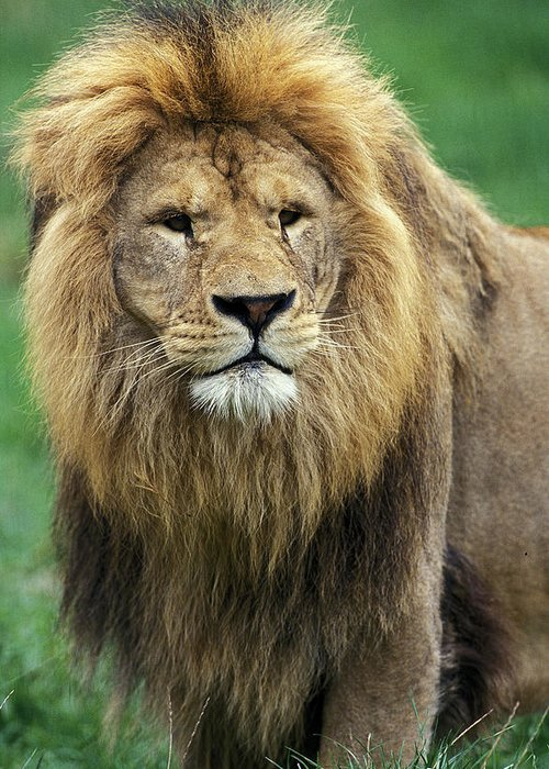 Adult Greeting Card featuring the photograph Lion Dafrique Panthera Leo by Gerard Lacz