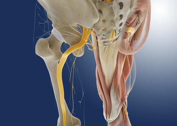 Peroneal Nerves Greeting Cards