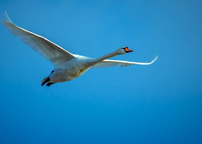 Action Greeting Card featuring the photograph Mute Swan by Brian Stevens