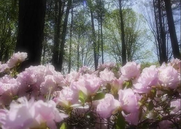 Azaleas Greeting Card featuring the photograph Azaleas In Springtime by Kristy Cotone