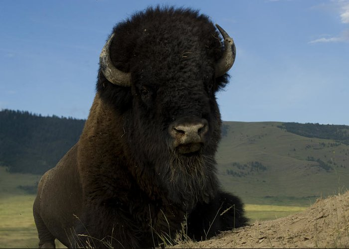 Bison Greeting Card featuring the photograph Bison Bison Bison by Carol Gregory