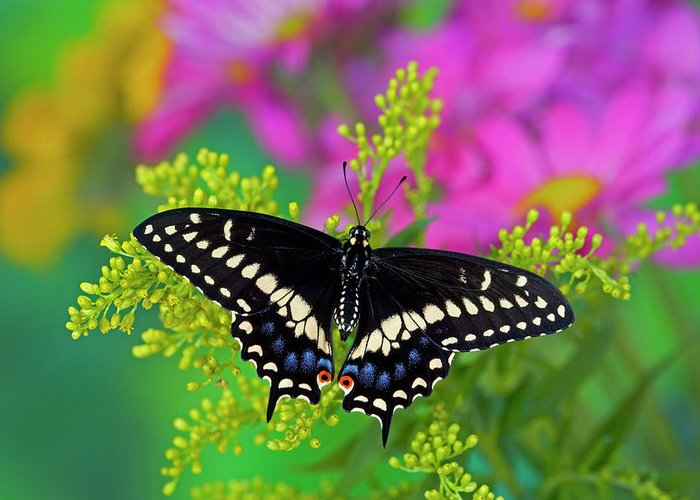 Papilio Polyxenes Greeting Cards