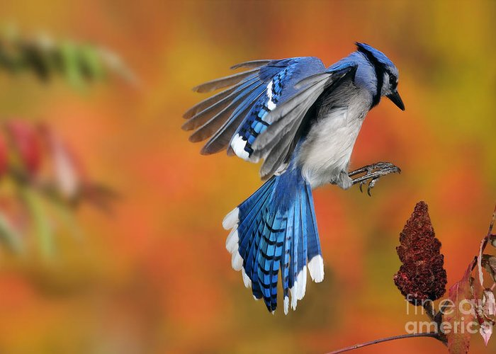 Blue Jay Greeting Card featuring the photograph Blue Jay by Scott Linstead