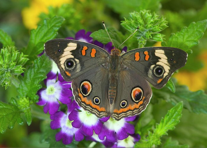 Buckeye Butterfly Greeting Cards