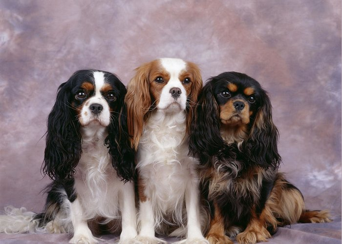 Dog Greeting Card featuring the photograph Cavalier King Charles Spaniels by John Daniels