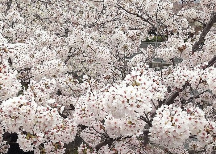 Greeting Card featuring the photograph Cherryblossoms by Tokyo Sanpopo