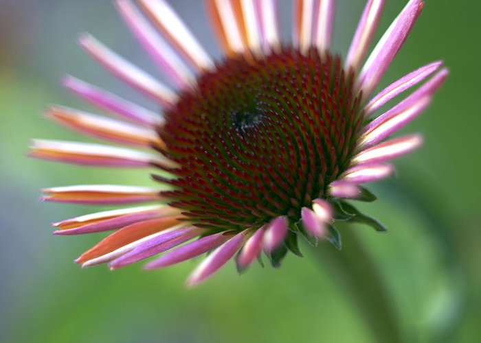 Genus Echinacea Greeting Card featuring the photograph Coneflower by Tony Cordoza
