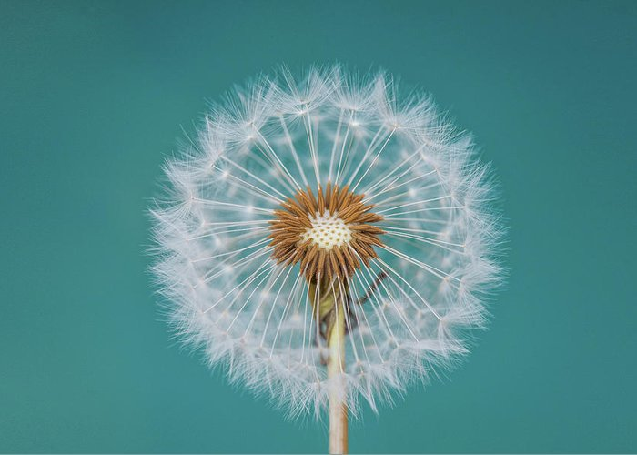 Abstract Greeting Card featuring the photograph Dandelion by Bess Hamiti