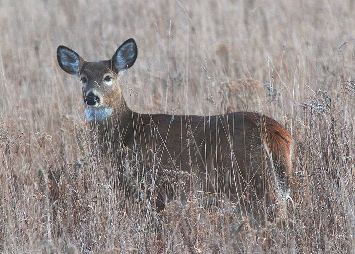 Deer In A Field Greeting Card featuring the photograph Deer In A Field by Edward Kocienski