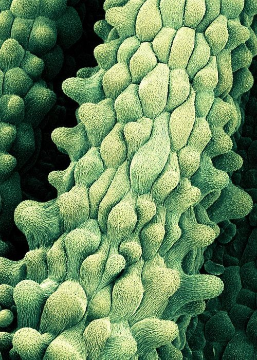 Flower Greeting Card featuring the photograph Flower Pistils, Sem by Science Photo Library