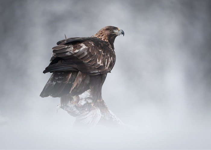 Female Animal Greeting Card featuring the photograph Golden Eagle by Andy Astbury