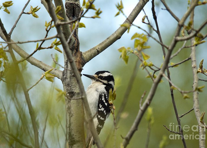 Animal Greeting Card featuring the photograph Hairy Woodpecker by Linda Freshwaters Arndt