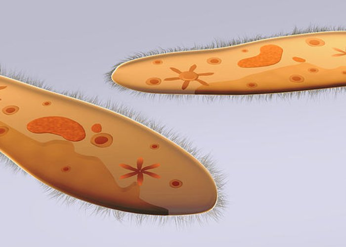 Color Image Greeting Card featuring the digital art Microscopic View Of Paramecium by Stocktrek Images