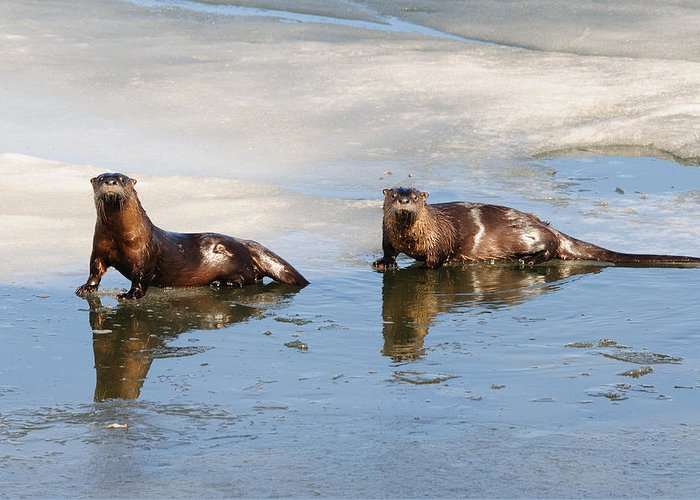 Otters Greeting Card featuring the photograph Otters by Brian Wartchow