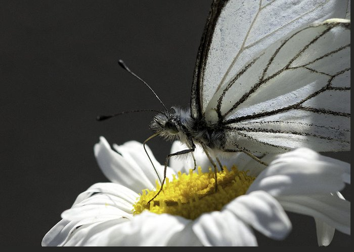Pine White Greeting Card featuring the photograph Pine White Butterfly by Betty Depee