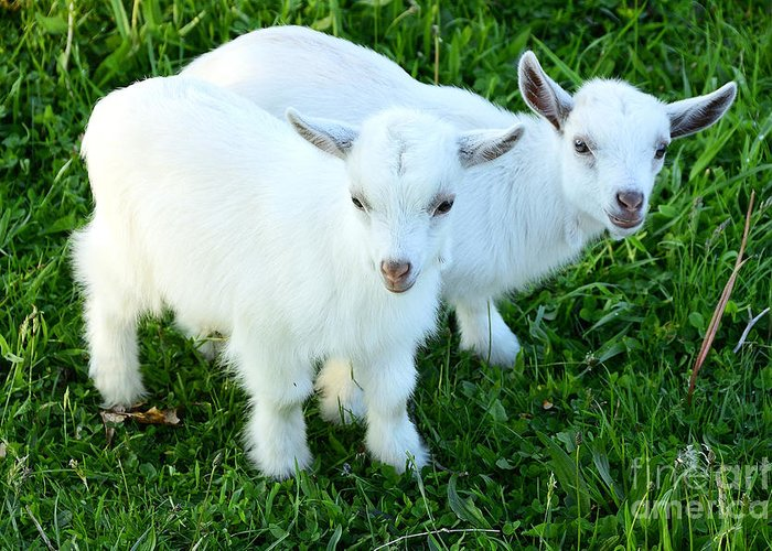 Pygmy Goat Greeting Card featuring the photograph Pygmy Goat Twins by Thomas R Fletcher