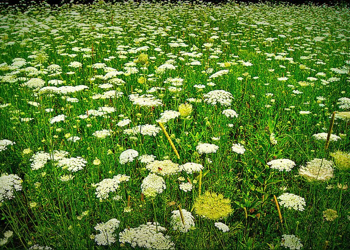 Queen Annes Lace Greeting Card featuring the photograph Queen Annes Lace by Carol Toepke