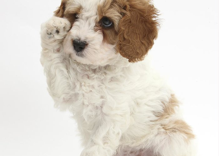 Red-and-white Cavapoo Puppy Greeting Card