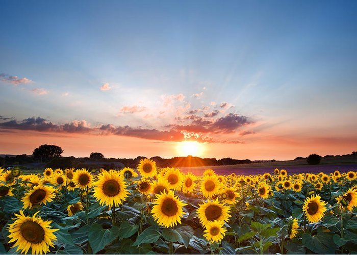 Sunflower Seeds Photographs Greeting Cards