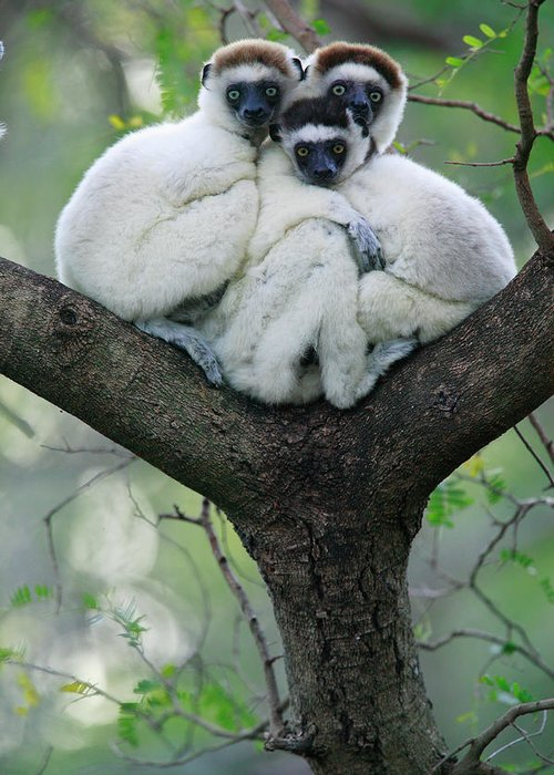 00621162 Greeting Card featuring the photograph Verreauxs Sifaka Propithecus Verreauxi by Cyril Ruoso