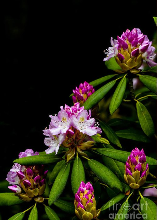 Rhododendron Maximum Greeting Cards