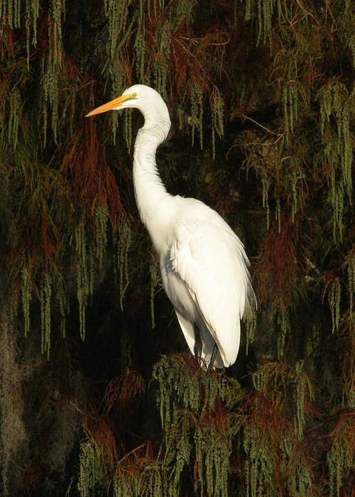 White Egret Greeting Card featuring the photograph White Egret by Jeff Wright