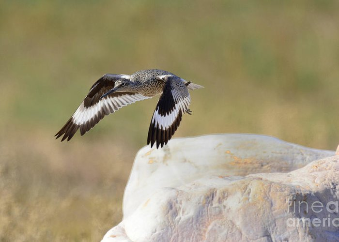 Bird Greeting Card featuring the photograph Willet by Dennis Hammer