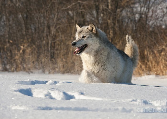 Canis Lupus Greeting Card featuring the photograph Wolf In Winter by John Shaw