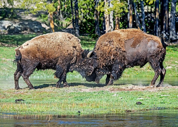 Yellowstone Greeting Card featuring the photograph Buffalo by Elijah Weber