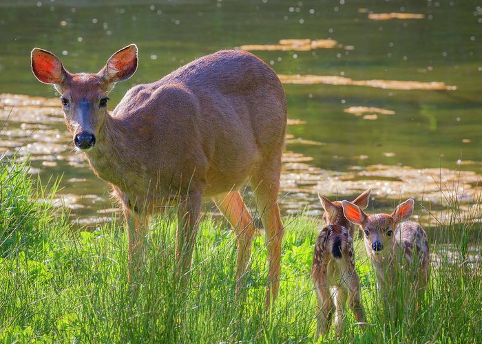 Twin Fawns Greeting Cards