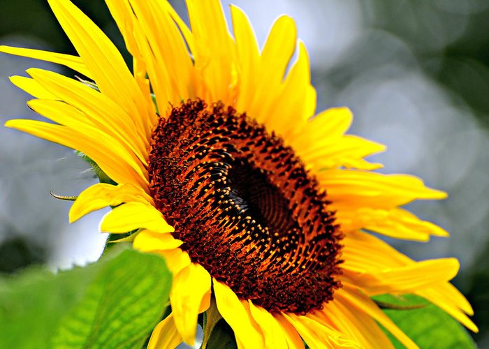 Sunflower Greeting Card featuring the photograph 3528 by Marty Koch