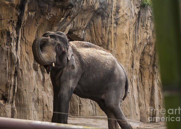 Washington Metro Park Zoo Greeting Card featuring the photograph Asian Elephant by Mandy Judson