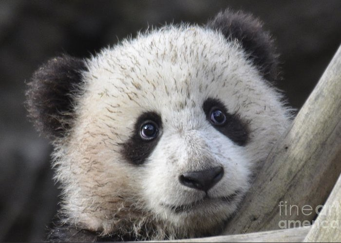 Nature Greeting Card featuring the photograph Baby Giant Panda by Mark Newman
